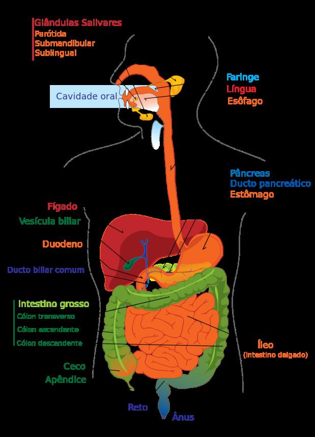 Digestive_system_diagram_pt.svg